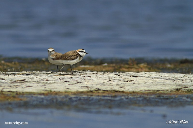 Kentish plover / Морски дъждосвирец (Charadrius alexandrinus)