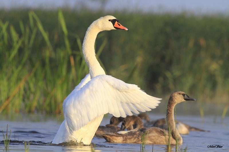 Mute swan / Ням лебед (Cygnus olor)