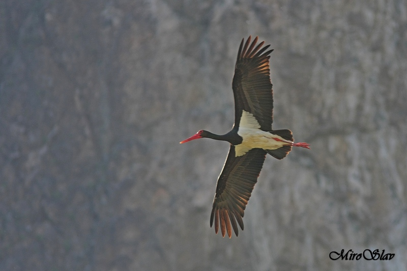 Black stork / Черен щъркел (Ciconia nigra)