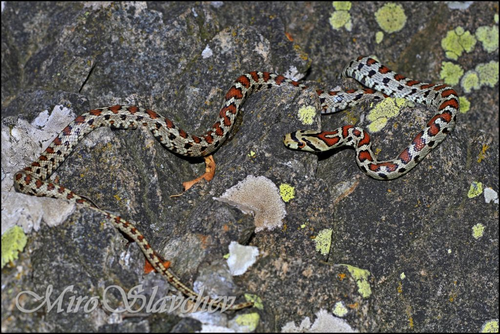 Leopard Snake / Leopardnatter / Леопардов смок (Zamenis situla)
