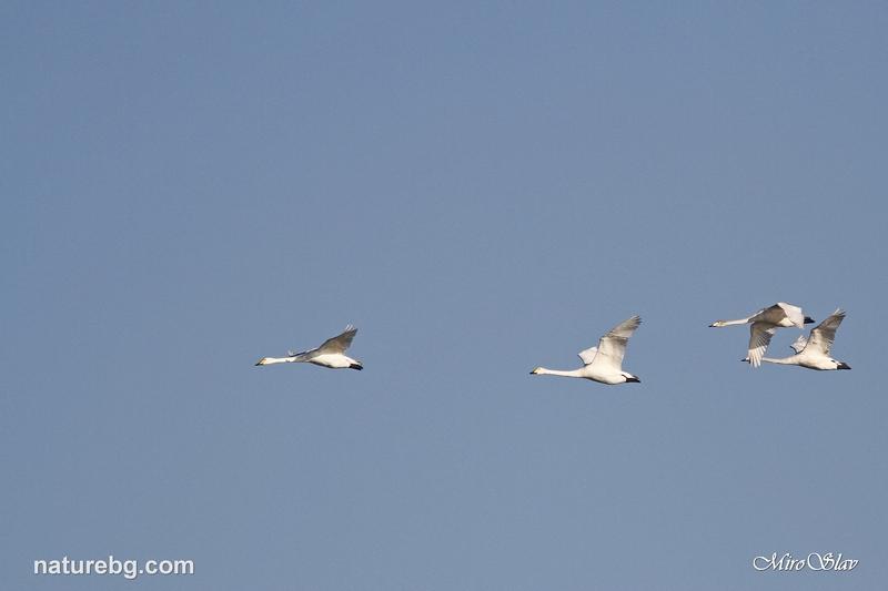 Whooper swan / Поен лебед (Cygnus cygnus)