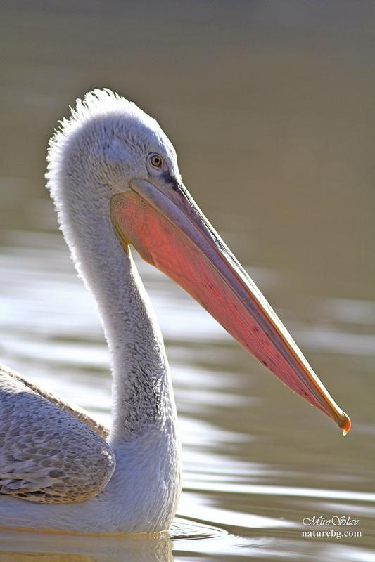 Dalmatian pelican / Krauskopfpelikan / Къдроглав пеликан (Pelecanus crispus)
