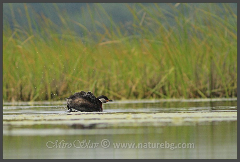 Red-necked grebe / Rothalstaucher / Червеноврат гмурец (Podiceps grisegena)