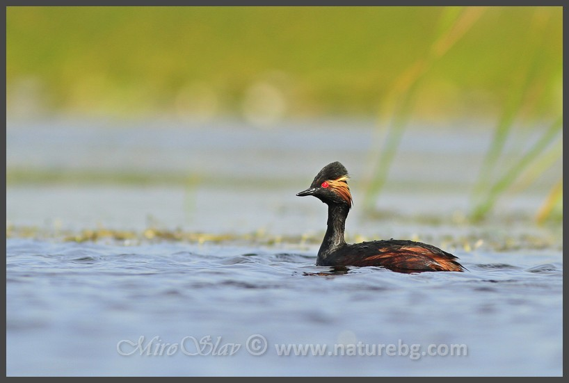 Black-necked grebe / Schwarzhalstaucher / Черноврат гмурец (Podiceps nigricollis)