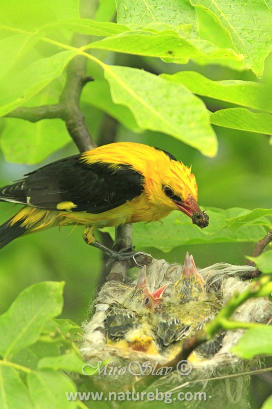 Golden oriole, Авлига (Oriolus oriolus)