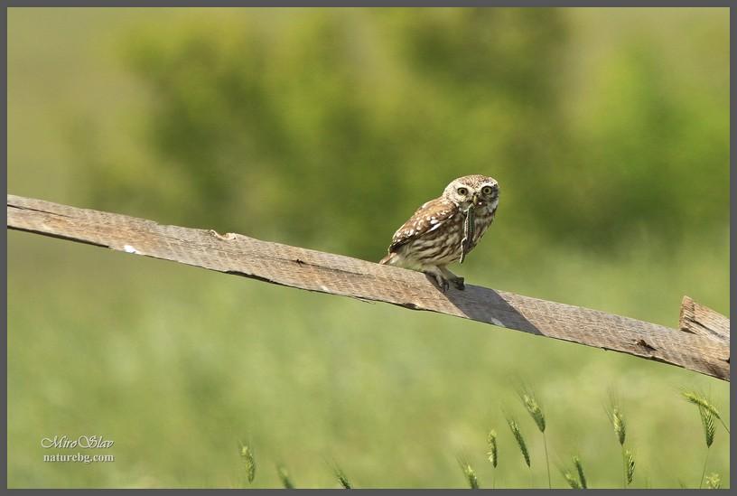 Llittle owl / Steinkauz / Кукумявка (Athene noctua)