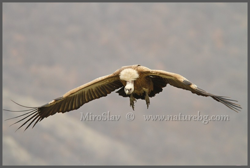 Griffon vulture / Gänsegeier / Белоглав лешояд (Gyps fulvus)
