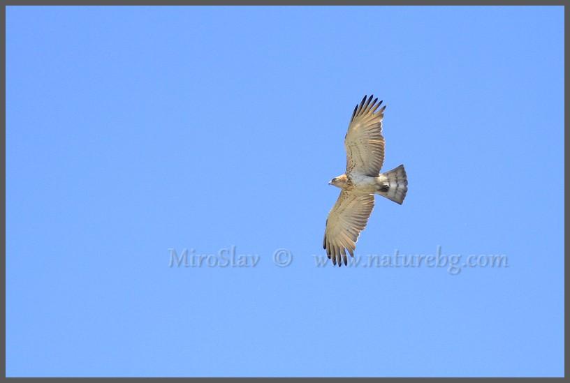 Short-toed eagle / Schlangenadler / Орел змияр (Circaetus gallicus)
