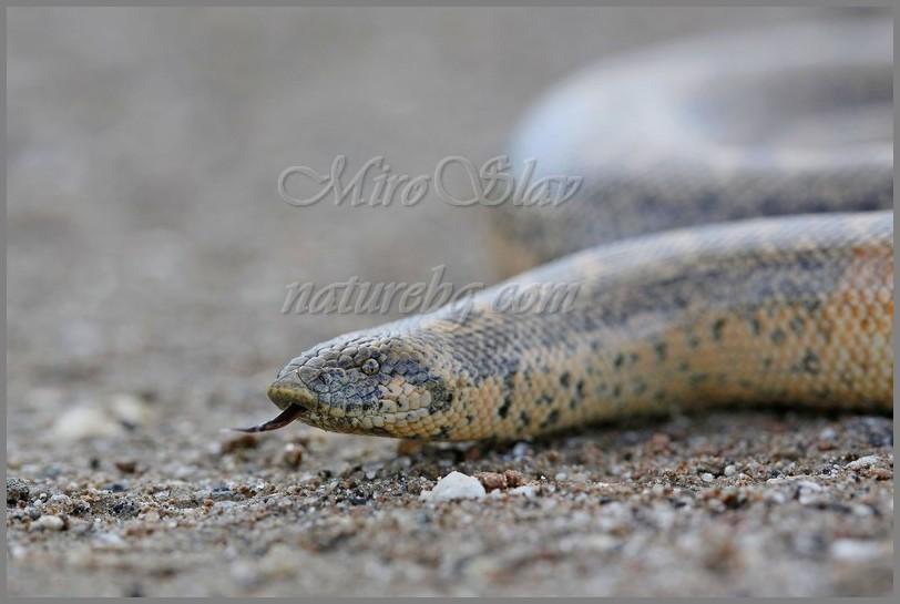 Sand boa / Westlichen Sandboa / Пясъчна (турска) боа (Eryx jaculus)
