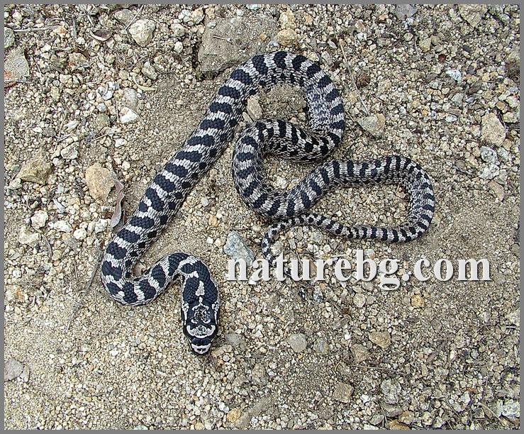 Four-lined snake / Vierstreifennatter / Ивичест смок (Elaphe quatuorlineata)