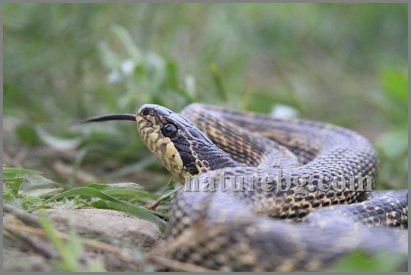 Blotched snake / Östlichen Vierstreifennatter / Пъстър смок (Elaphe sauromates)