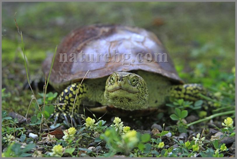 European pond terrapin / Europäische Sumpfschildkröte/Европейска блатна костенурка (Emys orbicularis