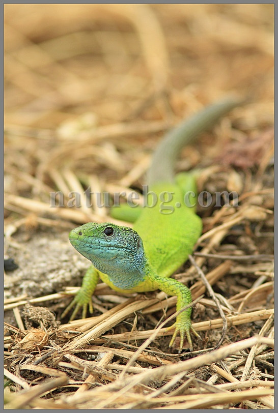 Green lizard / Östliche Smaragdeidechse/ Зелен гущер (Lacerta viridis)