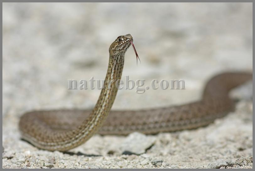 Montpellier snake / Вдлъбнаточел смок (Malpolon insignitus)