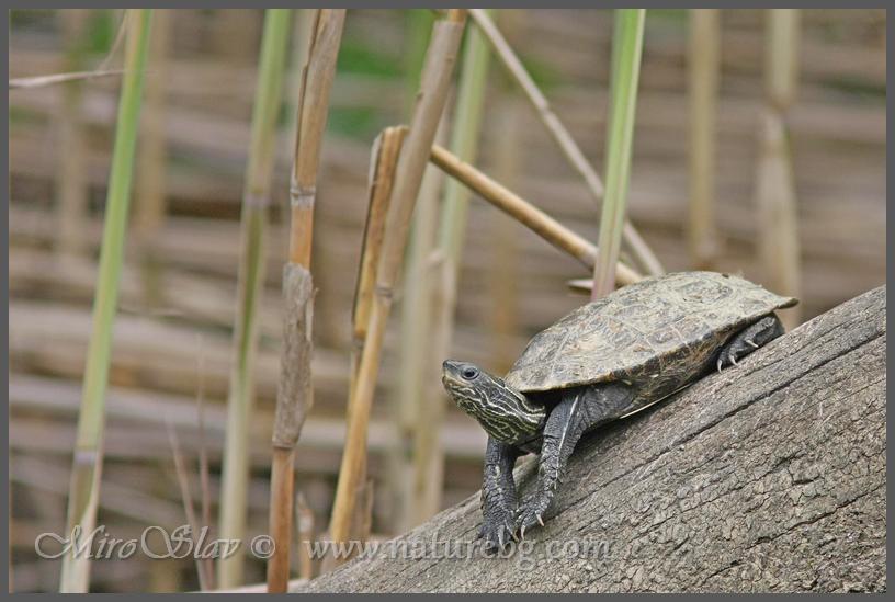 Balkan pond terrapin / Balkan-Bachschildkröte / Каспийска блатна костенурка (Mauremys rivulata)