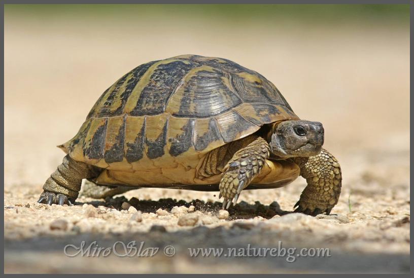Hermann's tortoise / Griechische Landschildkröte / Шипоопашата костенурка (Testudo hermanni)