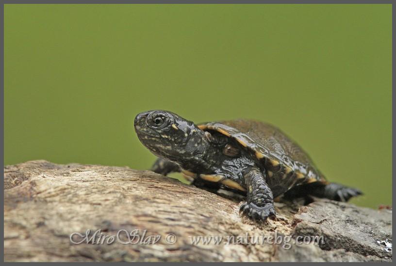 European pond terrapin / Europäische Sumpfschildkröte / Европейска блатна костенурка (Emys orbicular