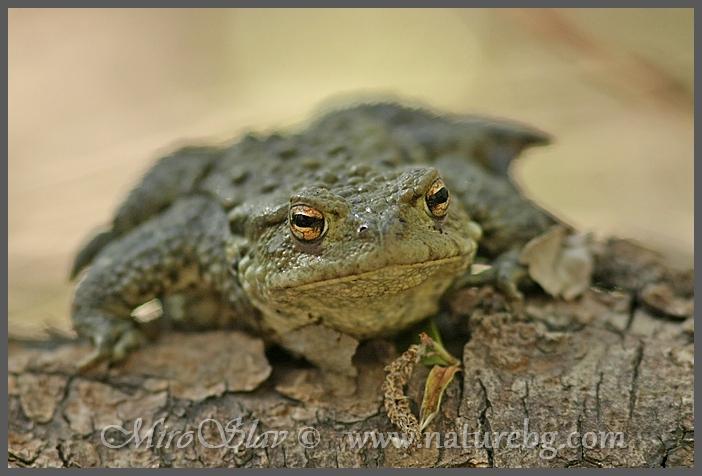 Common toad / Erdkröte / Кафява крастава жаба (Bufo bufo)