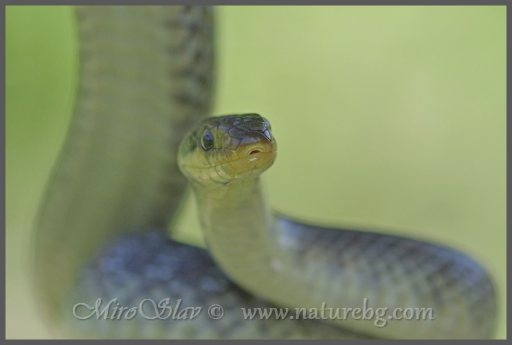 Aesculapian snake / Äskulapnatter / Смок мишкар (Zamenis longissimus)