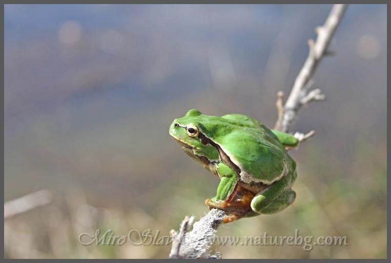 Tree frog / Laubfrosch / Дървесница (Hyla orientalis)