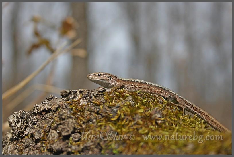 Meadow Lizard / Kaukasische Wieseneidechse / Горски гущер (Darevskia praticola)