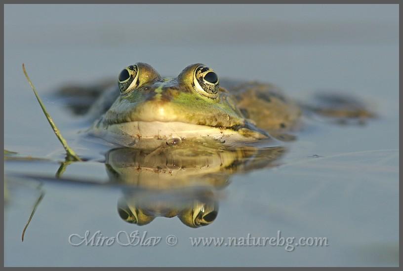 Marsh frog / Seefrosch / Голяма водна жаба (Pelophylax ridibundus)
