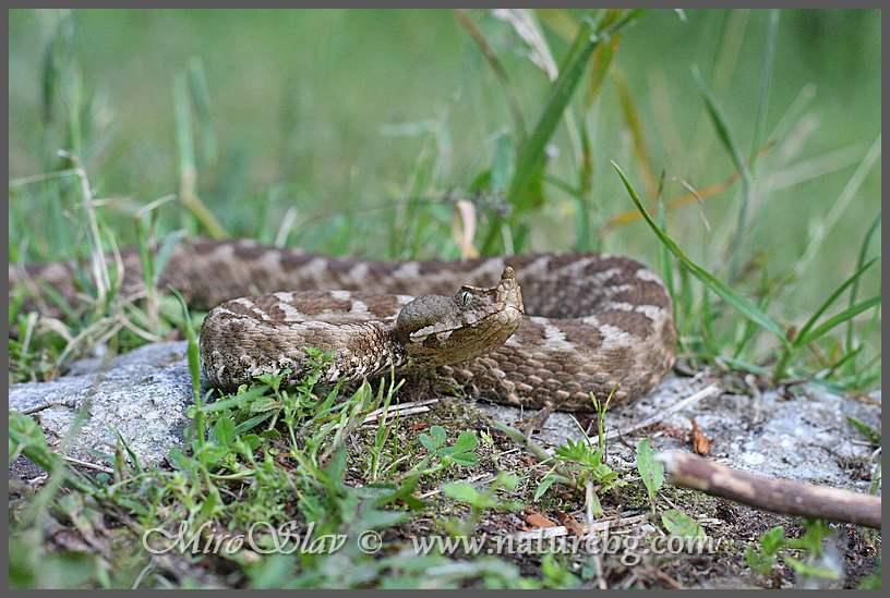 Nose-horned viper/ Sandotter / Пепелянка (Vipera ammodytes)