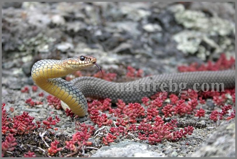 Large whip snake / Голям стрелец / Balkan-Springnatter (Dolichophis caspius)