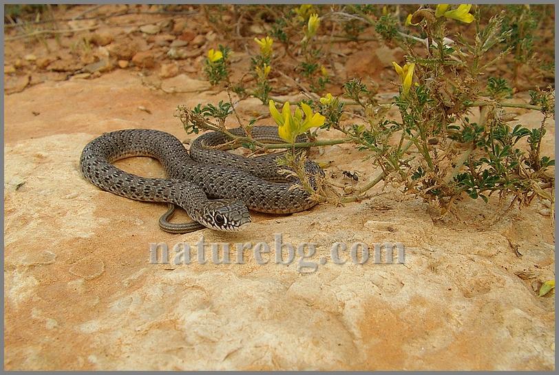 Large whip snake / Balkan-Springnatter / Голям стрелец (Dolichophis caspius)