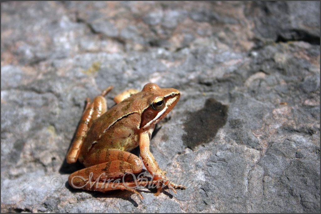Agile frog / Springfrosch / Горска дългокрака жаба (Rana dalmatina)