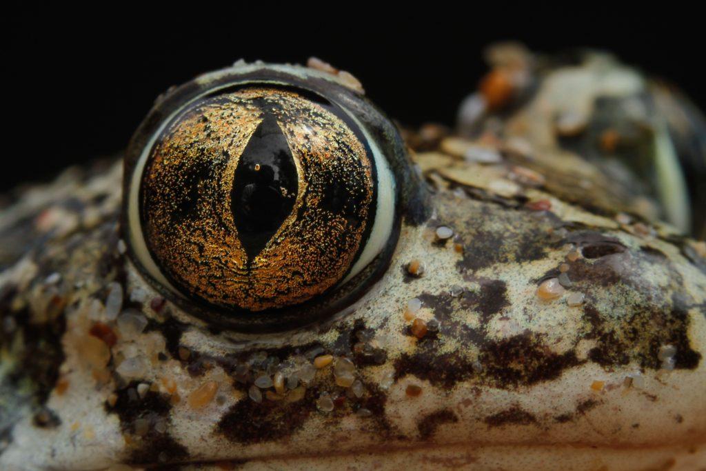 Syrian spadefoot toad / Сирийска чесновница / Syrische Schaufelkröte (Pelobates syriacus)