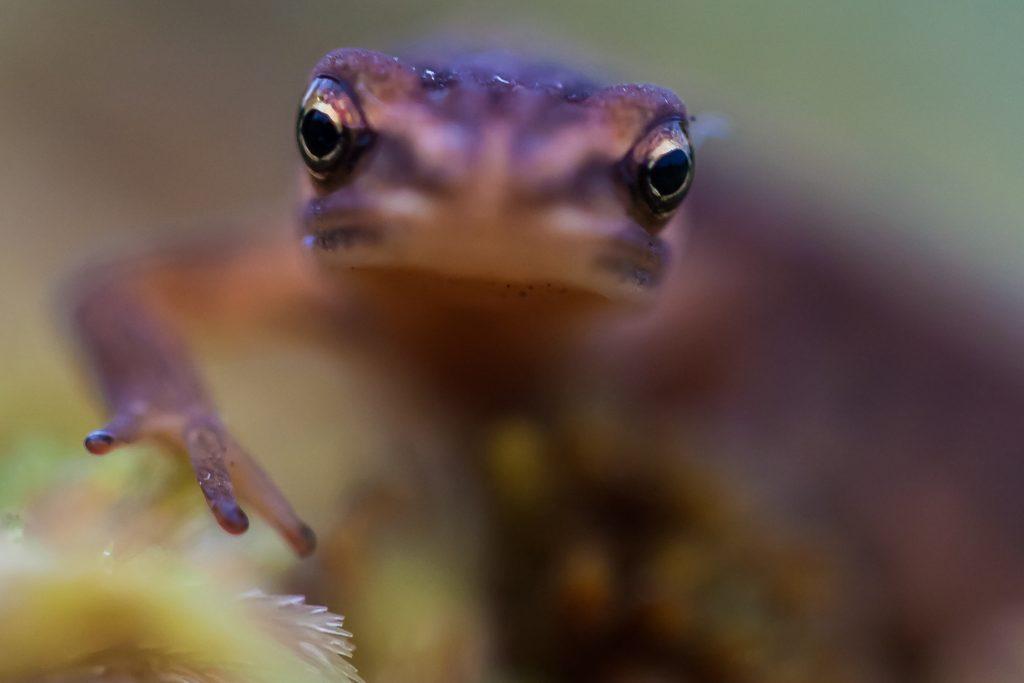 Smooth newt / Малък гребенест тритон / Teichmolch (Lissotriton vulgaris)