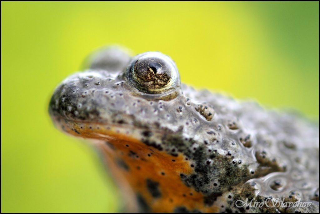 Yellow-bellied toad / Gelbbauchunke / Жълтокоремна бумка (Bombina variegata)