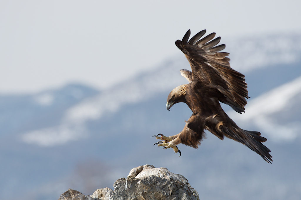 Golden Eagle /  Steinadler / Скален орел (Aquila chrysaetos)