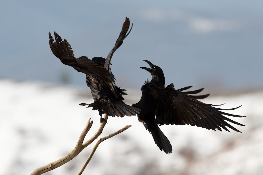 Common Raven /  Kolkrabe / Гарван (Corvus corax)