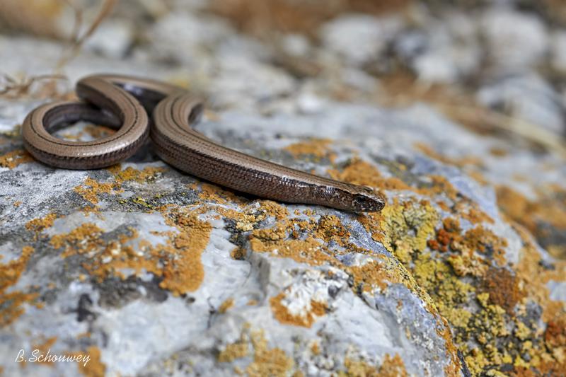 Slowworm / Blindschleiche / Слепок (Anguis fragilis)
