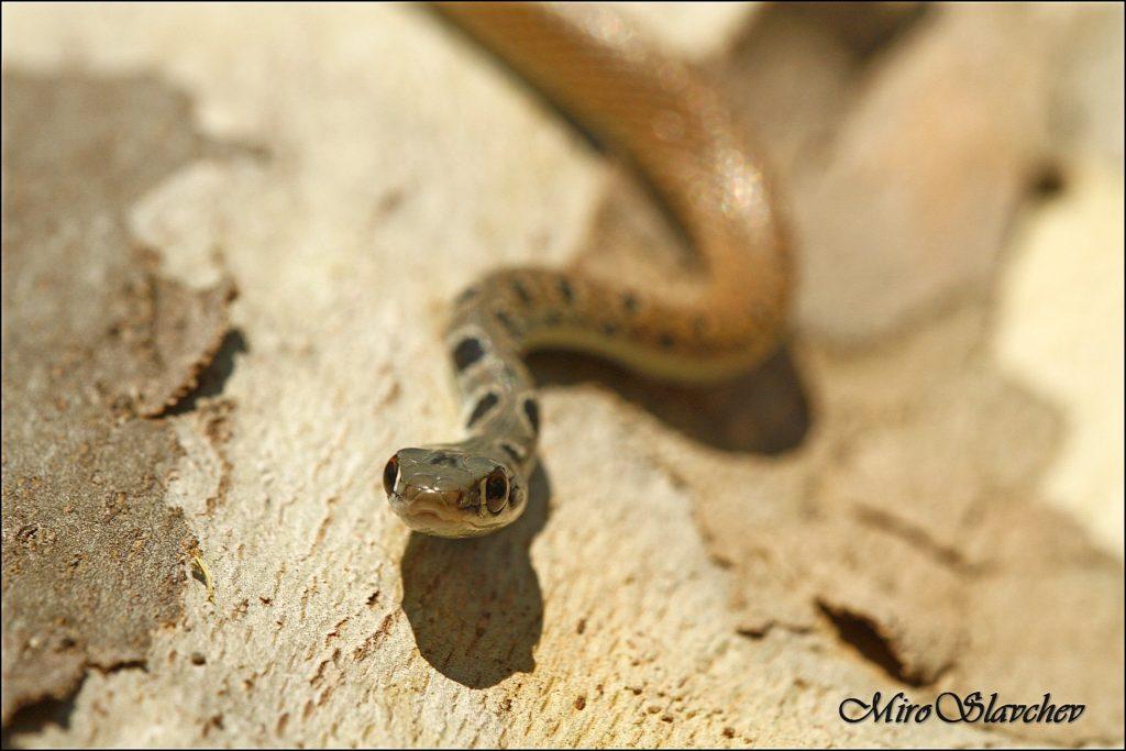 Dahl's Whip Snake / Тънък стрелец, Стрелушка (Platyceps najadum)