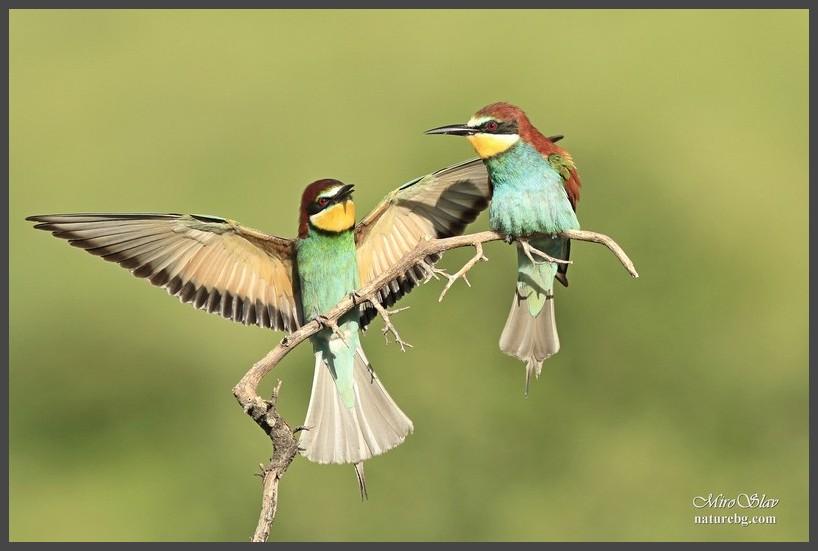 Bee-eater / Пчелояд (Merops apiaster)