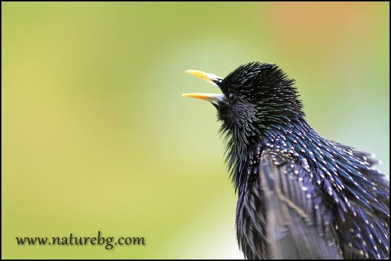 Starling / Скорец (Sturnus vulgaris)