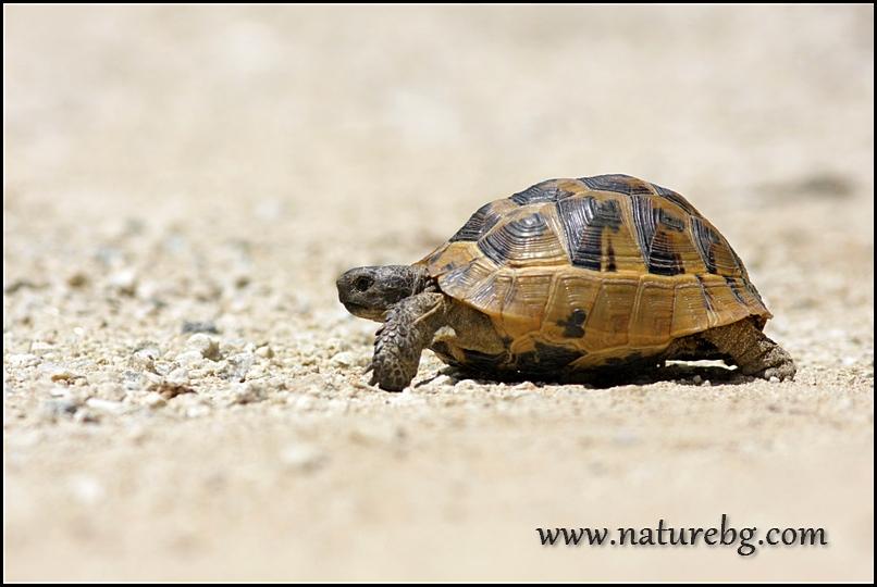 Spur-thighed tortoise / Шипобедрена костенурка (Testudo graeca)