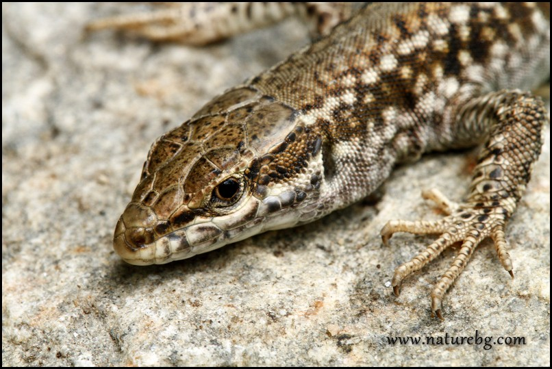 Erhard wall lizard, Макадонски гущер (Podarcis erhardii)
