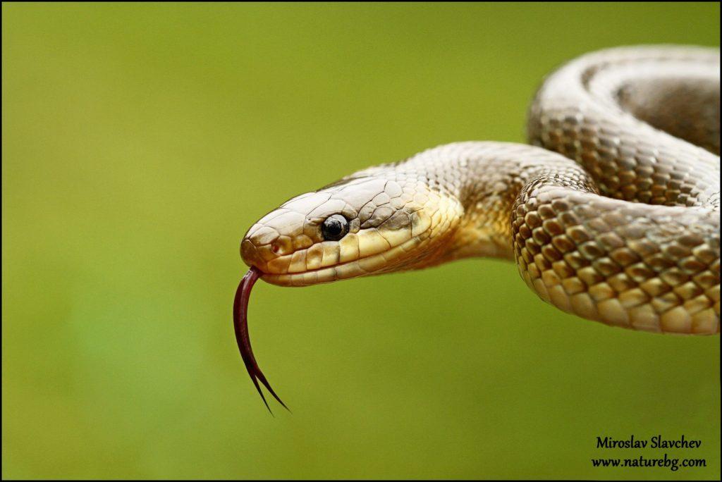 Aesculapian snake / Aesculapnatter / Смок мишкар (Zamenis longissimus)