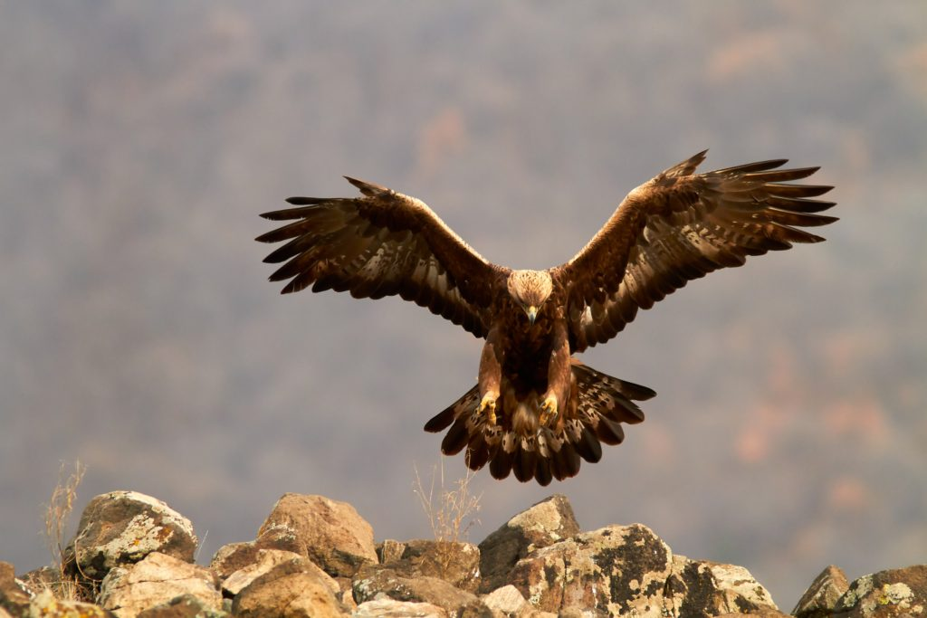Golden eagle / Steinadler / Скален орел (Aquila chrysaetos)