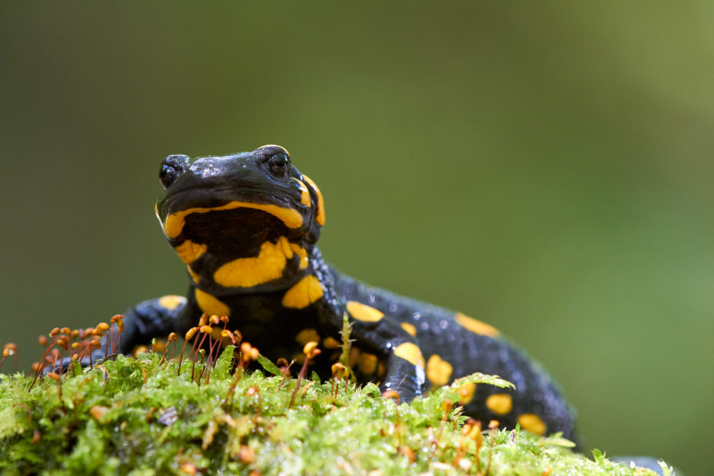 Fire salamander / Feuersalamander / Дъждовник (Salamandra salamandra)