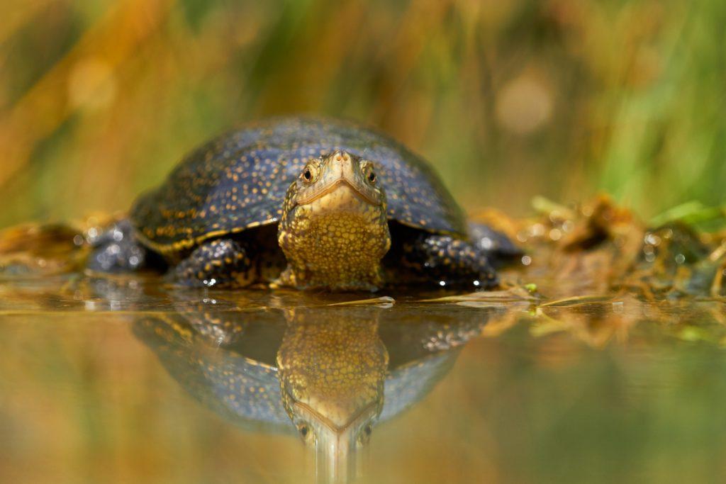 European pond terrapin/Europäische Sumpfschildkröte/Европейска блатна костенурка (Emys orbicularis)