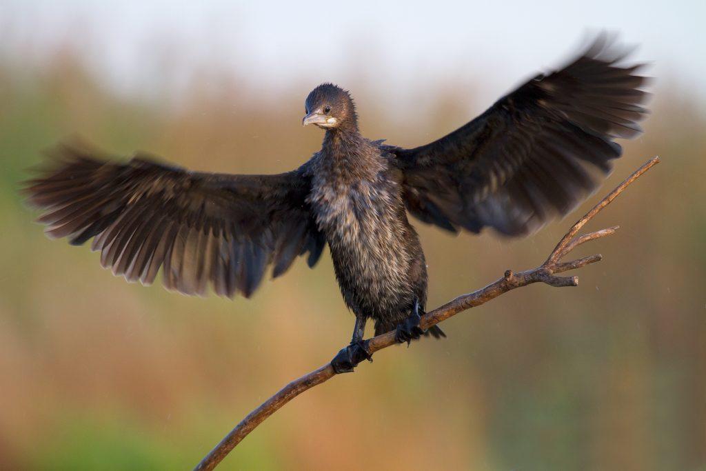 Pygmy cormorant / Малък корморан (Microcarbo pygmeus)