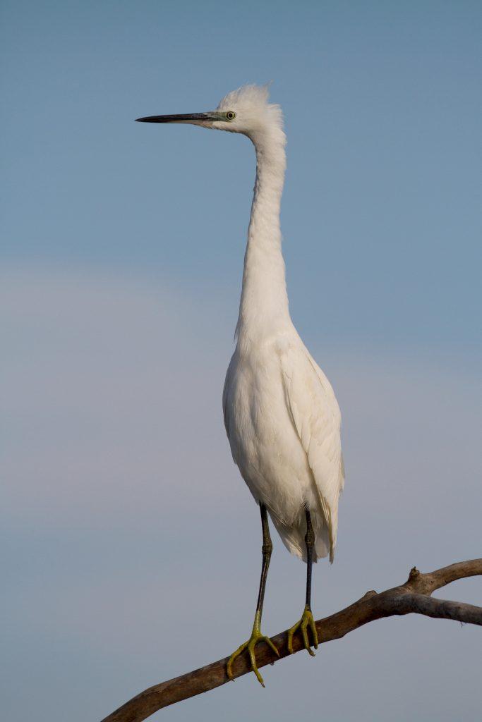 Little egret / Малка бяла чапла (Egretta garzetta)