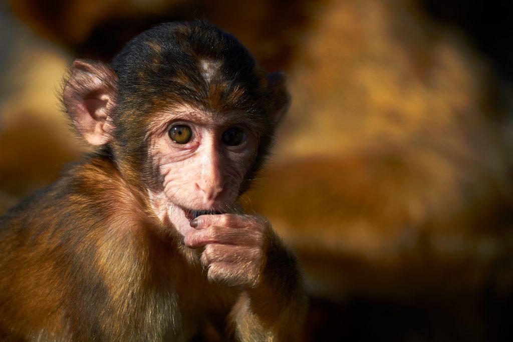 Barbary macaque / Магот (Macaca sylvanus)