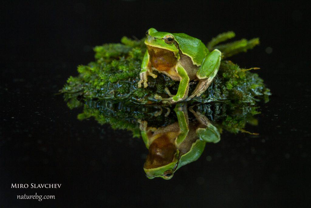 Tree frog / Laubfrosch / Дървесница (Hyla arborea)
