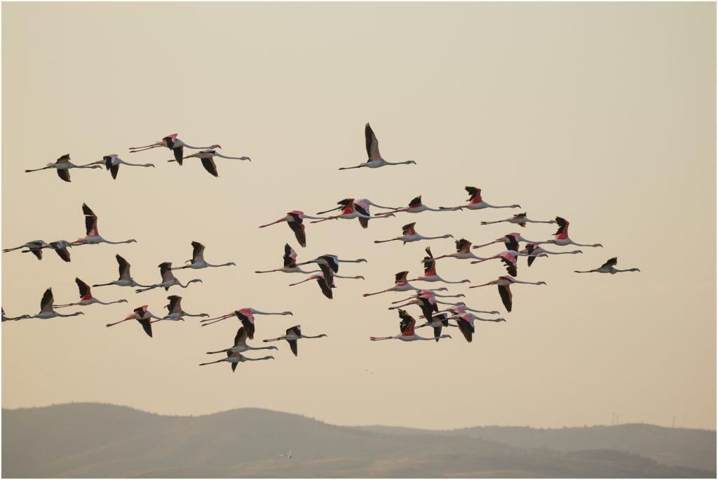 Greater flamingo, Розово фламинго (Phnicopterus ruber)